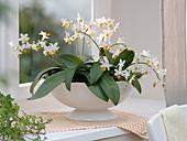 Phalaenopsis 'Mini Mark' (Malay flower, butterfly orchid)