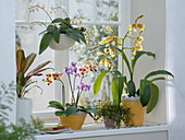 Orchids window