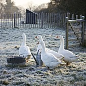 BOONSHILL Farm at CHRISTMAS. GEESE IN THE FIELD at THE BACK of THE HOUSE, IN FROST. LISETTE PLEASANCE