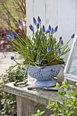 Muscari (grape hyacinth) in light blue, enamelled sieve