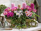Primula acaulis, Primula elatior 'Inara Pink Bicolor'