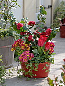 Camellia 'Kirin-No-Homare' (Kamelie) , Tulipa 'Couleur Cardinal' (Tulpen)