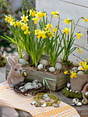 Woode carrier with Narcissus 'Tete A Tete' in terracotta pots