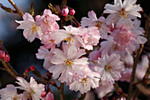 Blühende Prunus subhirtella 'Autumnalis' (Winter-Kirsche)