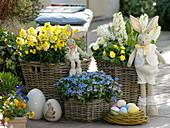 Scented Easter Terrace, Erysimum Rysi 'Star', Myosotis' 'Myomark'