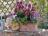 Terracotta box with Erysimum 'Winter Orchid', Aubrieta