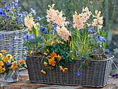 Basket with Hyacinthus 'Gipsy Queen', Viola cornuta