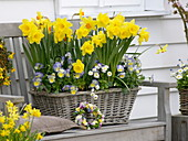 Spring basket with Narcissus 'Dutchmaster' and 'Pinza', Viola 'Etain'