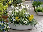 Narcissus poeticus recurvus, Corydalis wilsonii