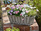 Spring basket with Bellis, Viola cornuta, Carex