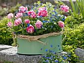 Tulipa 'Peach Blossom', Myosotis, Bast
