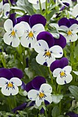 Viola cornuta Callisto 'Purple & White' (Hornveilchen)