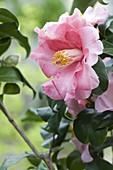 Camellia japonica 'Laurie Bray' (Kamelie)