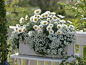 Leucanthemum hosmariense (Marguerite), Lobularia 'Snow Princess'