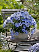 Pericallis syn. Cineraria senetti 'Lavender' (ash flower)