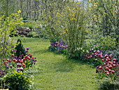 Lawn path between spring beds with tulips