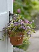 Cascade thyme in clay pot hanging on door knob