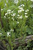Cardamine pratensis (meadowfoam, wild cress)