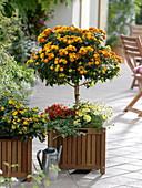 Lantana camara trunk planted with Argyranthemum