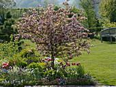 Malus sargentii 'Rosea' (ornamental apple), Tulipa (tulip), Erysimum