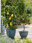 Citrus limon 'Florentina' at the trellis planted with thyme
