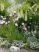 Iris barbata elatior 'Wabash', Lupinus polyphyllus 'Fraulein'