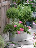 Zinc tub planted with rosemary (Rosmarinus), stems