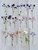 Board with different varieties Aquilegia, assorted colors