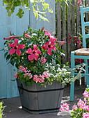 Hibiscus rosa-sinensis (Rosemary), Pelargonium peltatum