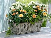 Fragrance basket with pink (pot rose), Dianthus (carnation), sage