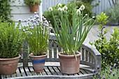 Schalotten (Allium ascalonicum), Schnittlauch (Allium schoenoprasum)