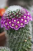 Mammillaria spinosissima (wart cactus)
