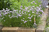 Flowering Allium schoenoprasum (chives) in the flower bed