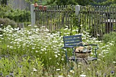 Blue chair in flower meadow with Leucanthemum vulgare