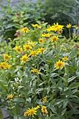 Arnica chamissonis ssp. foliosa