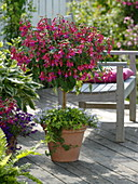 Fuchsia 'Beacon', planted with Hedera
