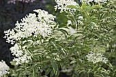 Sambucus nigra 'Variegata' (white, colored Elderberry)