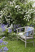 Wooden bench under Rosa multiflora (multi-flowered rose)