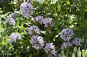 Campanula glomerata 'Caroline' (Knotbell flower)
