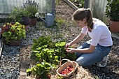 Young woman picking strawberries (Fragaria ananassa) in the bed