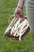 Freshly harvested asparagus in the woodchip basket, asparagus peeler