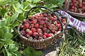 Basket of freshly picked strawberries (pine strawberry)