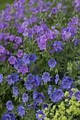 Geranium pratense 'Johnson's Blue', gracile 'Sirak'