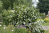Philadelphus coronarius (false jasmine, whistling shrub)