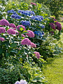 Semi-shade bed, Hydrangea macrophylla, Vinca major