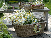 Freshly picked camomile in a large laundry basket
