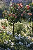 Pink 'Westzeit' (bed rose) on trunk of Noack