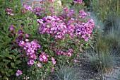 Pink 'Lupo' (dwarf rose) from Kordes