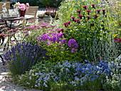 Blue-pink-red Beet-Lavandula 'Hidcote Dark Blue', Phlox