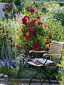 Rosa 'Flammentanz' (Kletterrose), Monarda 'Cambridge Scarlet'